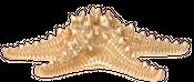 Noppen Seestern gold mit Hänger ca. 20cm – Bild 2