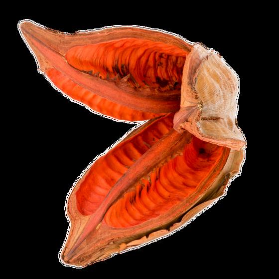 Sororoca Frucht orange ca.10-15cm | Strelitzia nicolai – Bild 1