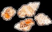 Bursa roberta ca. 6-9cm 1kg  – Bild 2