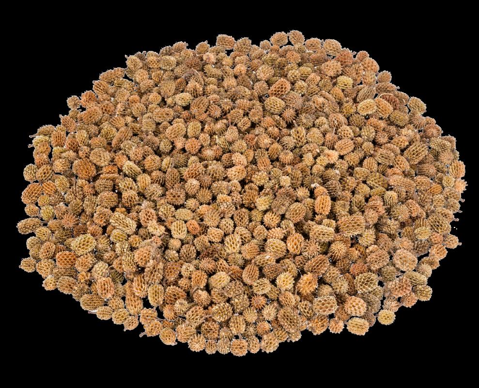 Kasuarinen Zapfen natur 1kg | Casuarina