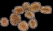 Kasuarinen Zapfen natur 1kg | Casuarina – Bild 2