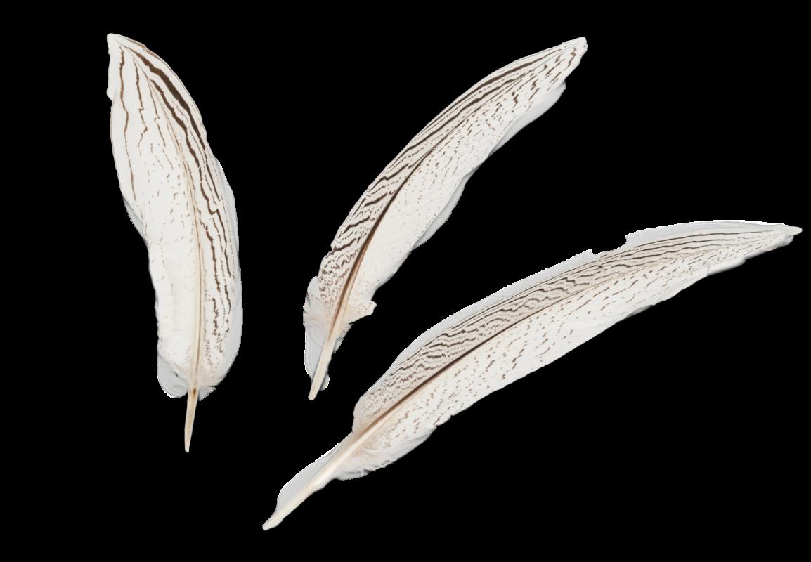 Silberfasan Feder 20-25cm 3 Stück | Fasanenfeder
