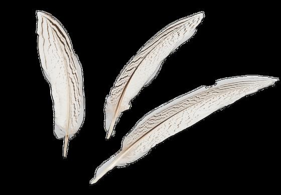 Silberfasan Feder 20-25cm 3 Stück | Fasanenfeder – Bild