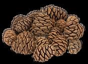 Mammutbaum Zapfen – Bild 1