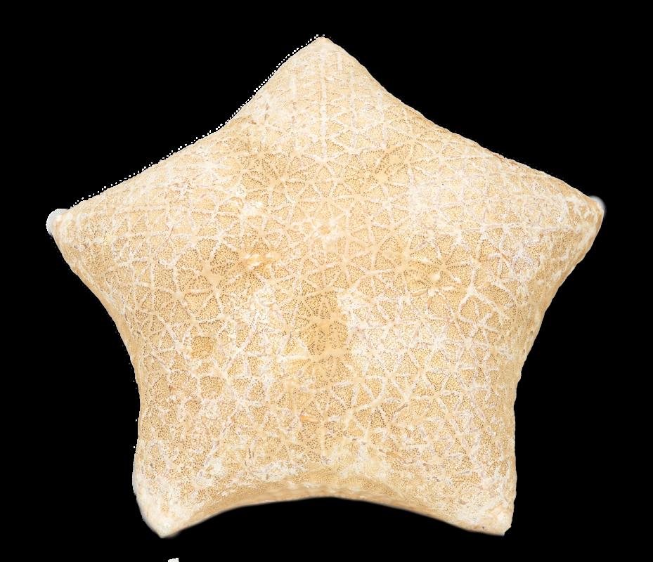 Kissenseestern ca. 20cm | Culcita novaeguineae