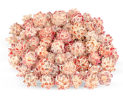 Leucadendron pubescens 0,5kg – Bild 1