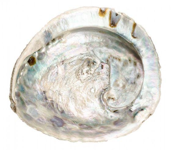 Haliotis midae ca. 10-13cm | Abalone Schnecke – Bild 1