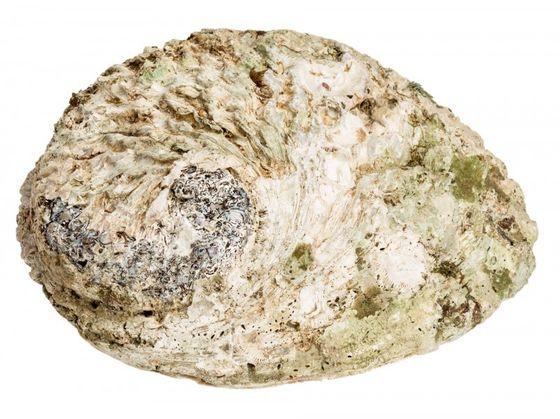 Haliotis midae ca. 10-13cm | Abalone Schnecke – Bild 2