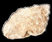 Bursa ranilla ca.20cm | Bursidae – Bild 4