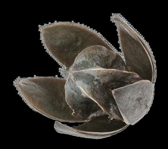 Wildlilie grau ca. 6cm | Soymida febrifuga – Bild 1