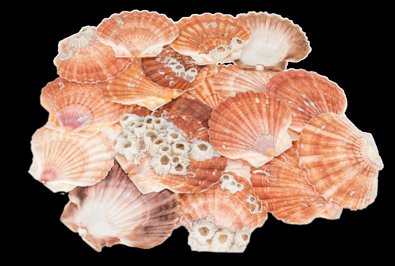 Pecten maximus 12 Stück ca. 9-12cm | Pilgermuschel