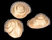 Lamarkiana Schnecke gold 7cm | Ryssota otaheitana – Bild 3