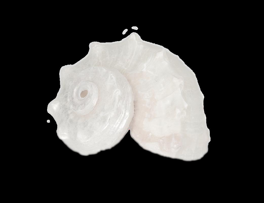 Angaria delphinus poliert ca. 3-5cm