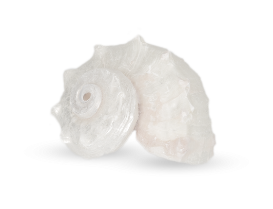 Angaria delphinus poliert ca. 3-5cm – Bild 1