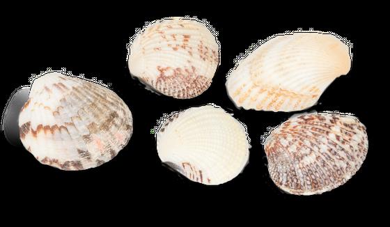 Venus Muschel Schalen ca. 2-3cm 1kg | Venusmuscheln – Bild 2