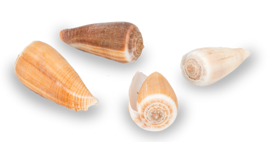 Conus magus ca. 4-6cm 1kg | Kegelschnecke – Bild 2