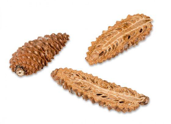 Pinus Maritima geschlossen und halbiert 12 Stück 8-10cm – Bild 3