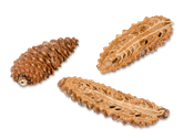 Pinus Maritima geschlossen und halbiert 12 Stück 8-10cm – Bild 2