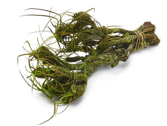 Mountain velvet grün im Bund mit 5 Stück | Bulbostylis paradoxa – Bild 1