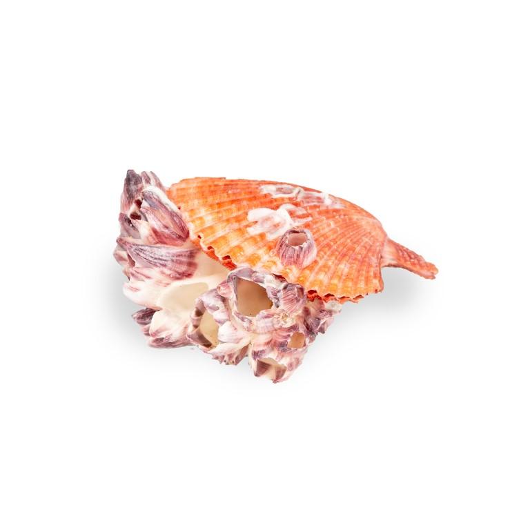 Pecten nobolis Paar mit Seepocken ca. 6-10cm