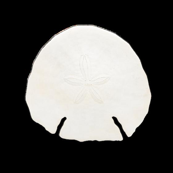 Pfeilspitzen Sanddollar ca. 14cm | Echinodiscus auritus  – Bild