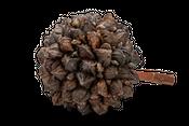 Nippah Palmenfrucht XXL Ø ca. 30cm | Nypa fruticans