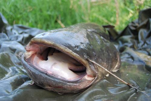 Wels der Fisch
