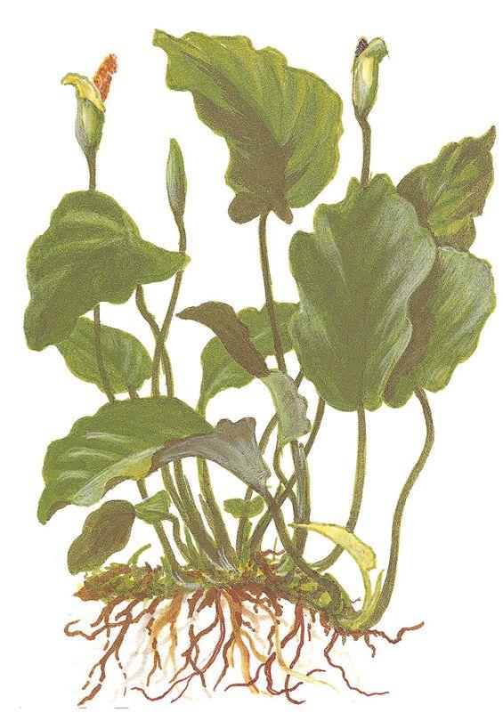 Aquarium Pflanze Anubias barteri var barteri Tropica Topf Nr.101A Bild 3