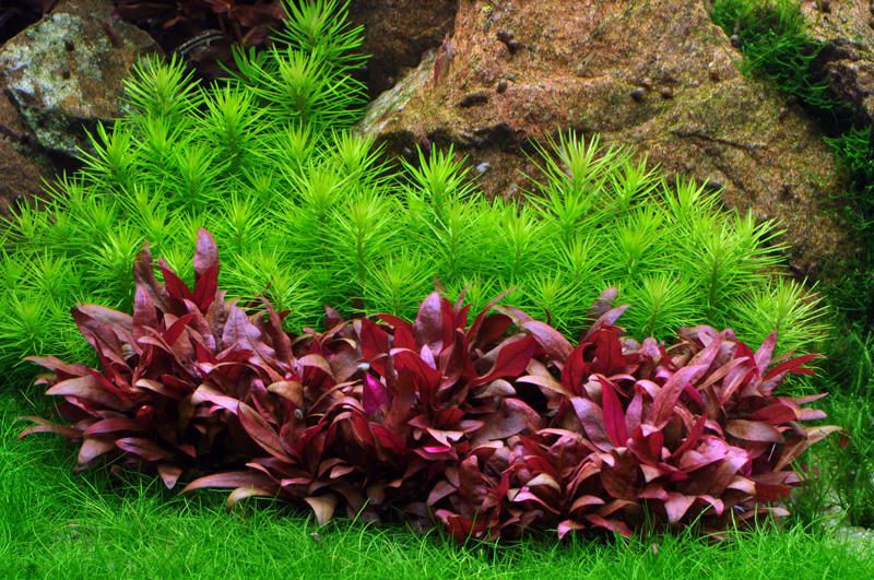 Aquarium Pflanze Pogostemon erectus Tropica Nr.053F Bild 2