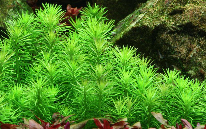Aquarium Pflanze Pogostemon erectus Tropica Nr.053F