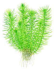 Aquarium Pflanze Pogostemon erectus Tropica Nr.053F Bild 4
