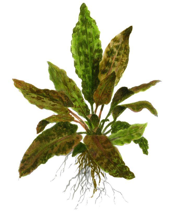 Aquarium Pflanze Cryptocoryne wendtii 'Tropica' Tropica Nr.109E Bild 3