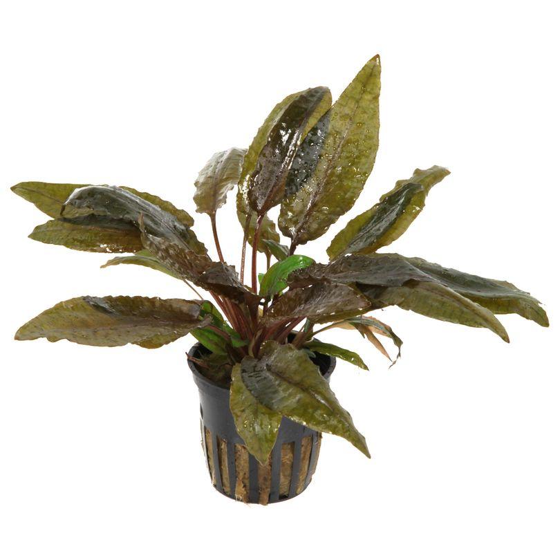 Aquarium Pflanze Cryptocoryne wendtii 'Tropica' Tropica Nr.109E Bild 2