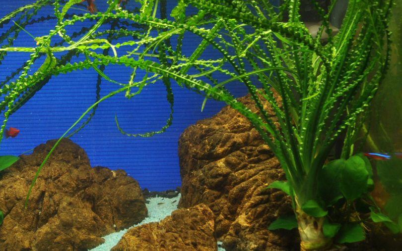 Aquarium Pflanze Crinum calamistratum Tropica Nr.094A