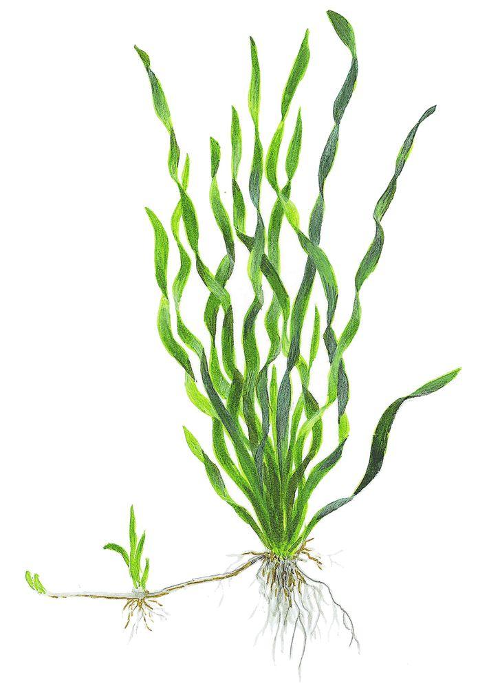 Aquarium Pflanze Vallisneria Americana Asiatica Im Bund Tropica Nr