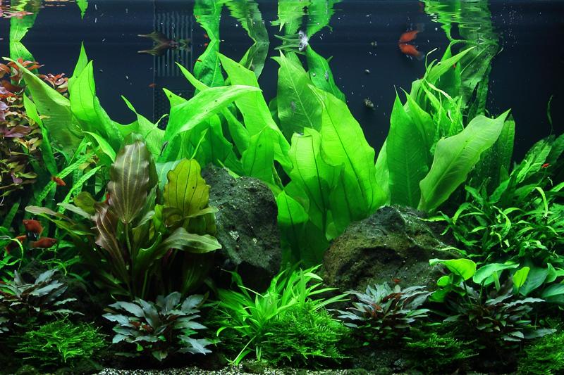 Aquarium Pflanze Echinodorus bleheri im Topf Tropica Topf Nr.071 Bild 4