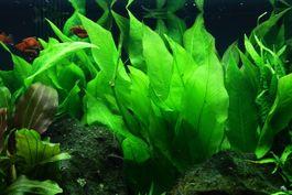 Aquarium Pflanze Echinodorus bleheri im Topf Tropica Topf Nr.071 Bild 3