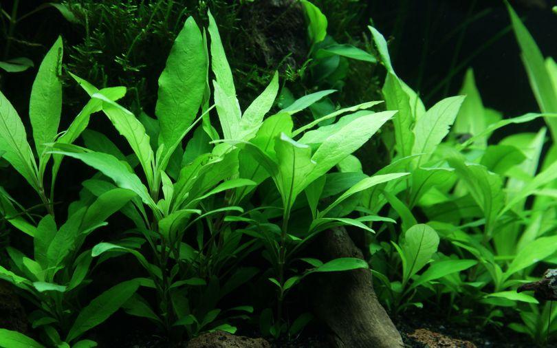 Aquarium Pflanze Hygrophila Siamensis 53B Wasserpflanzen Tropica Nr.053B