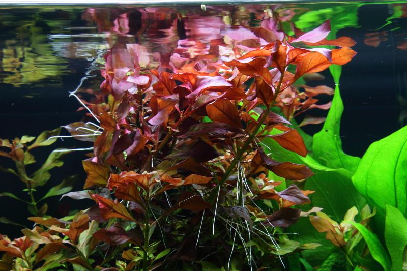 Aquarium Pflanze Ludwigia Repens Rubin Tropica Nr 033d Aquaristik