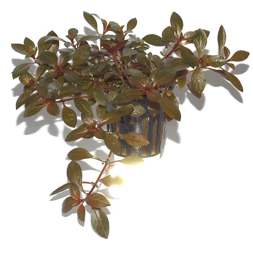 Aquarium Pflanze Ludwigia repens 'Rubin' Tropica Nr.033D Bild 3