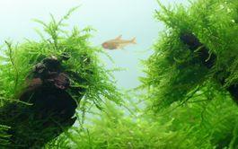 Aquarium Pflanze Javamoos Moos Taxiphyllum barbieri Tropica Nr.003 TC in Vitro  Bild 2