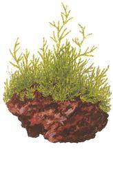 Aquarium Pflanze Javamoos Moos Taxiphyllum barbieri Tropica Nr.003 TC in Vitro  Bild 4