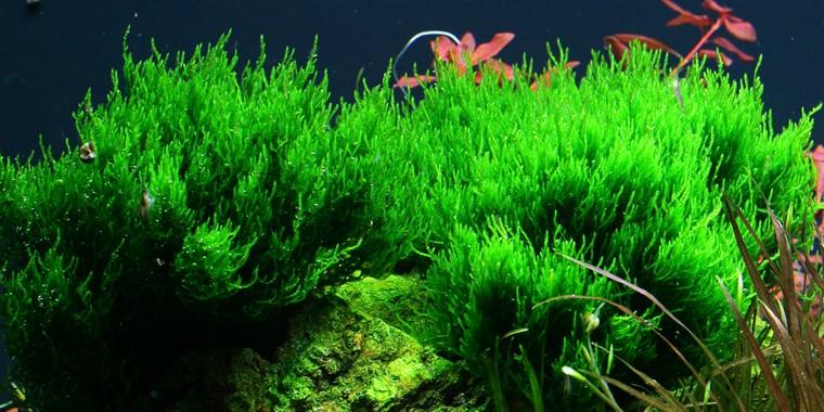 Aquarium Pflanze Moos Taxiphyllum 'Flame' Tropica Nr.003H TC in Vitro 1-2 Grow Bild 1