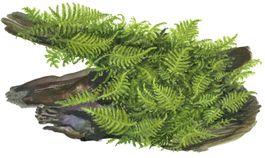 Aquarium Pflanze Moos Vesicularia dubyana Christmas Tropica Nr.003A TC in Vitro Bild 5