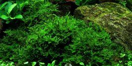 Aquarium Pflanze Moos Vesicularia dubyana Christmas Tropica Nr.003A TC in Vitro Bild 2