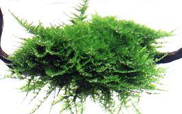 Aquarium Pflanze Moos Vesicularia dubyana Christmas Tropica Nr.003A TC in Vitro Bild 3