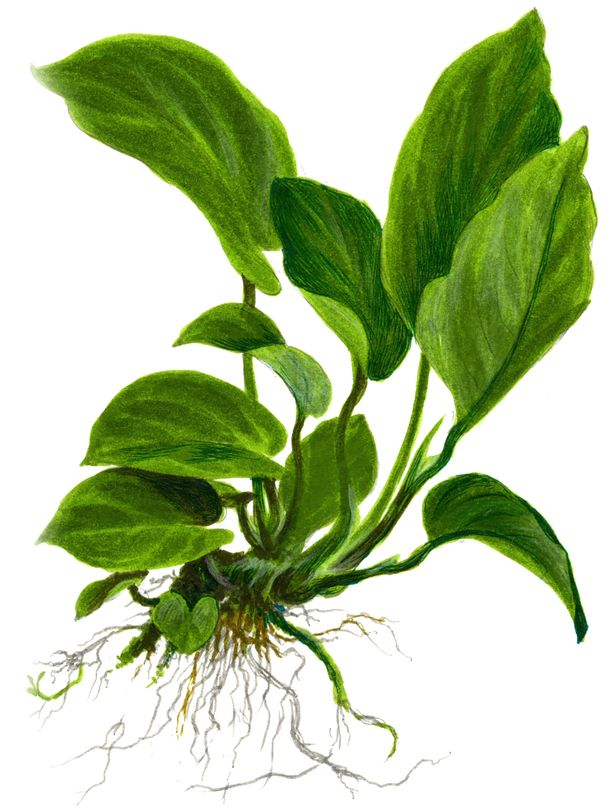 Mutterpflanze Aquarium Pflanze Anubias barteri caladiifolia XL Tropica Nr.101U Bild 3