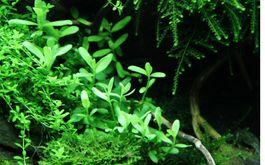 Aquarium Pflanze Bacopa 'Compact' Tropica Nr.044A Bild 4
