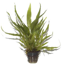 Aquarium Pflanze Microsorum pteropus Javafarn Wasserpflanzen Tropica Topf Nr.008 Bild 3