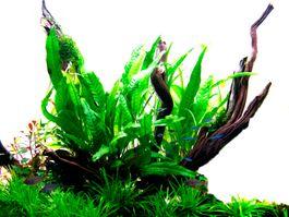Aquarium Pflanze Microsorum pteropus Javafarn Wasserpflanzen Tropica Topf Nr.008 Bild 2
